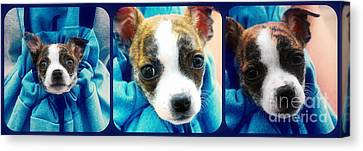 The Three Amigos Teacup Chihuahua Canvas Print by Peggy Franz