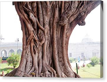 The Twisted And Gnarled Stump And Stem Of A Large Tree Inside The Qutub Minar Compound Canvas Print by Ashish Agarwal