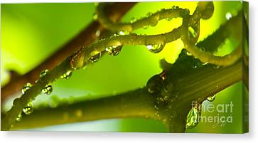 The Vineyard After The Rain Canvas Print by Artist and Photographer Laura Wrede