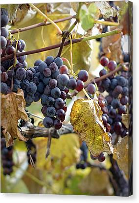 Canvas Print featuring the photograph The Vineyard by Linda Mishler