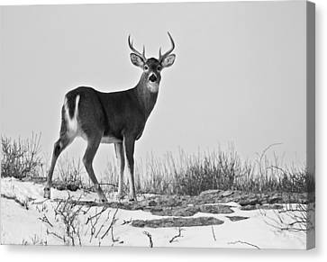 Canvas Print featuring the photograph The Watching Deer by Nancy De Flon