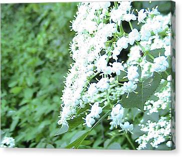 The White Bloom Canvas Print by Rachel Snell