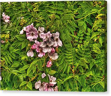 The Wild Rose Canvas Print by William Fields