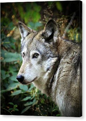 Canvas Print featuring the photograph The Wolf by Steve McKinzie