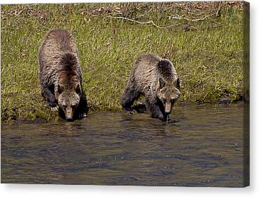 Canvas Print featuring the photograph Thirsty Grizzlies by J L Woody Wooden