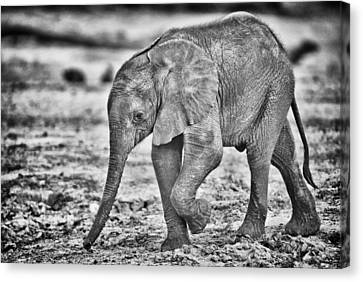 This Is Botswana No.  6 - Wait Up Mother Canvas Print by Paul W Sharpe Aka Wizard of Wonders