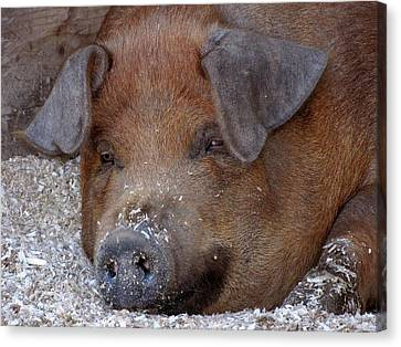 This Little Piggy Took A Nap Canvas Print
