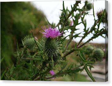 Canvas Print featuring the photograph Thistle Bloom by Lorraine Devon Wilke