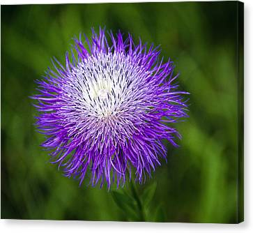 Thistle II Canvas Print by Tamyra Ayles