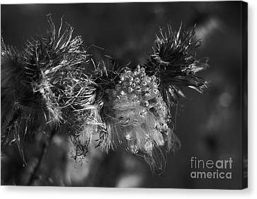 Thistle Seeds Canvas Print