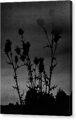 Thistles Canvas Print by Hakon Soreide