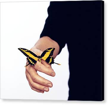 Thoas Swallowtail Butterfly Canvas Print by Lawrence Lawry