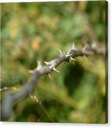 Thorny Canvas Print by Lisa Phillips