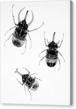 Three Beetles X-ray Canvas Print