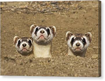 Three Black-footed Ferrets In Burrow Canvas Print by Wendy Shattil and Bob Rozinski