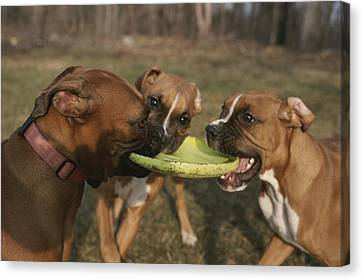 Three Boxer Dogs Play Tug-of-war Canvas Print by Roy Gumpel