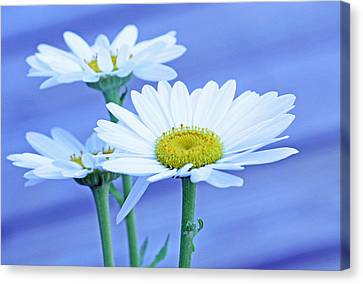 Three Daisies Canvas Print by Becky Lodes