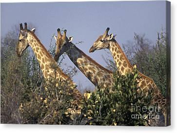 Canvas Print featuring the photograph Three Friends - Savuti Marsh Botswana by Craig Lovell