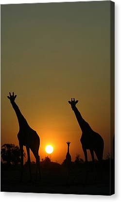 Three Giraffes Stand At Sunset Canvas Print by Beverly Joubert