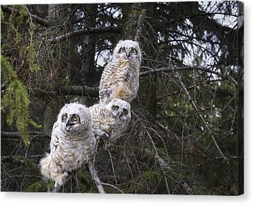 Three Great Horned Owl Bubo Virginianus Canvas Print by Richard Wear