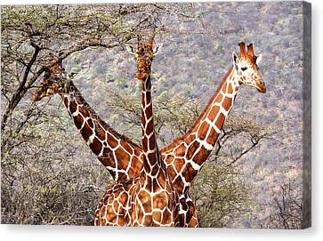 Three Headed Giraffe Canvas Print