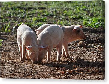 Three Little Pigs Canvas Print by Tammy Price