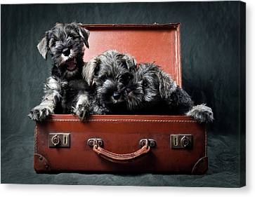 Three Miniature Schnauzer Puppies In Old Suitcase Canvas Print by Steve Collins / momofoto