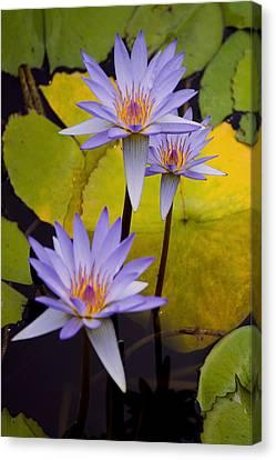 Three Purple Lotus Flower Canvas Print