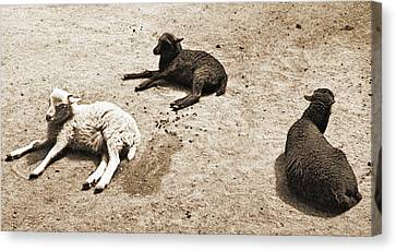 Three Sheep Canvas Print