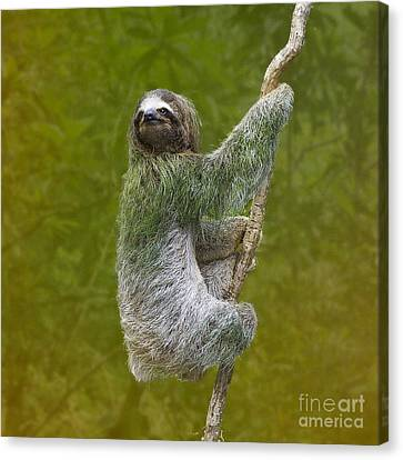 Sloth Canvas Print - Three-toed Sloth Climbing by Heiko Koehrer-Wagner
