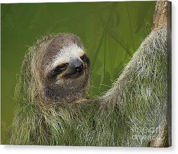 Sloth Canvas Print - Three-toed Sloth by Heiko Koehrer-Wagner