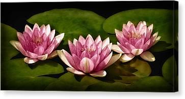 Three Water Lilies Canvas Print by Susan Candelario