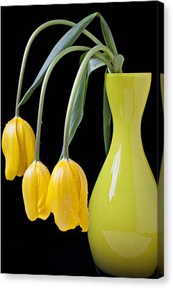 Three Yellow Tulips Canvas Print by Garry Gay