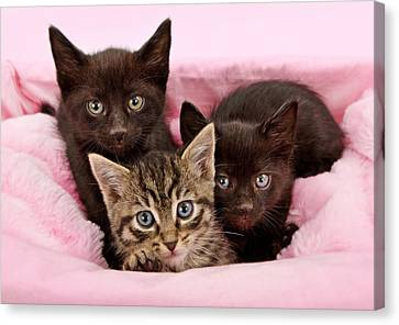 Threee Kittens In A Pink And White Basket Canvas Print by Susan Schmitz