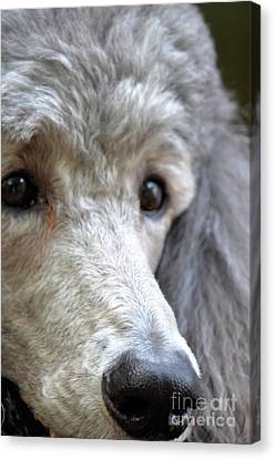 Through Dusty's Eyes Canvas Print by Maria Urso