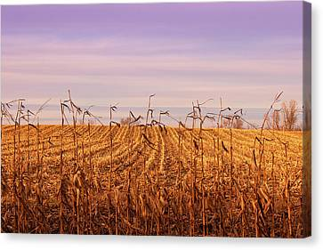 Canvas Print featuring the photograph Through The Cornfield by Rachel Cohen