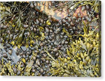Tidal Pool With Rockweed Canvas Print by Ted Kinsman