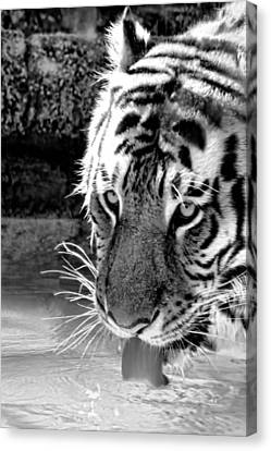Tiger At The Watering Hole Canvas Print by Tracie Kaska