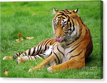Tiger Canvas Print by Carlos Caetano