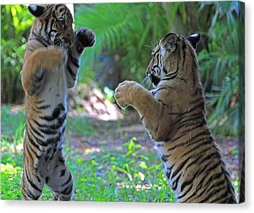Canvas Print featuring the photograph Tiger Cubs Boxing by Larry Nieland