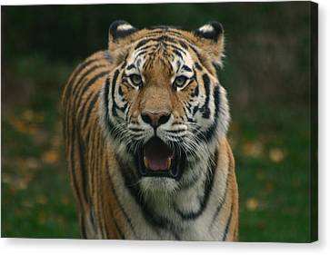 Tiger Canvas Print by David Rucker