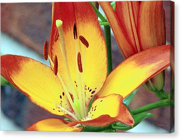 Tiger Daylily Subdued Canvas Print