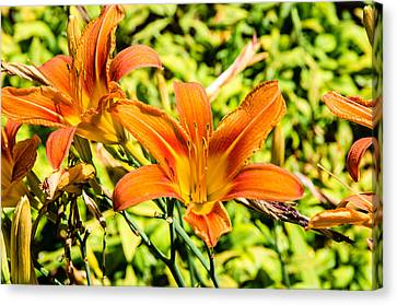 Tiger Lily 01 Canvas Print by Ken Beatty