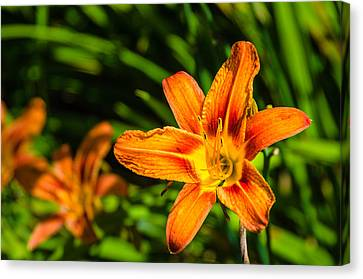 Tiger Lily 02 Canvas Print by Ken Beatty