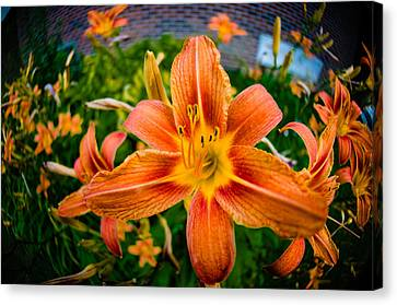 Tiger Lily 03 Canvas Print by Ken Beatty