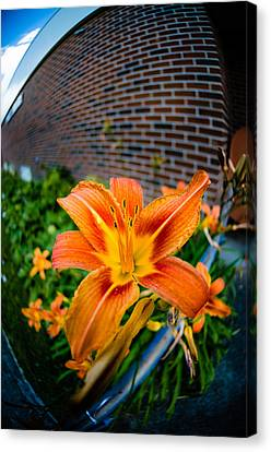 Tiger Lily 04 Canvas Print by Ken Beatty