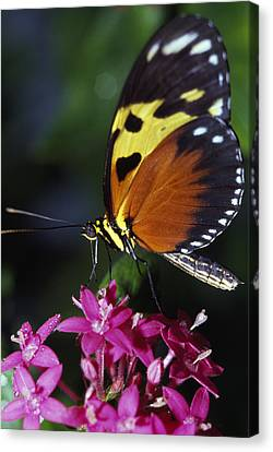 Tiger Longwing Butterfly Canvas Print by Natural Selection Ralph Curtin