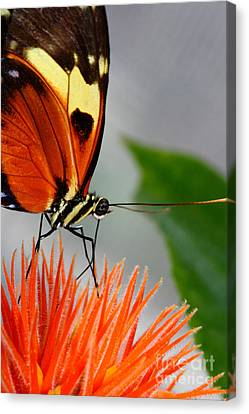 Tiger Longwing Butterfly  Canvas Print