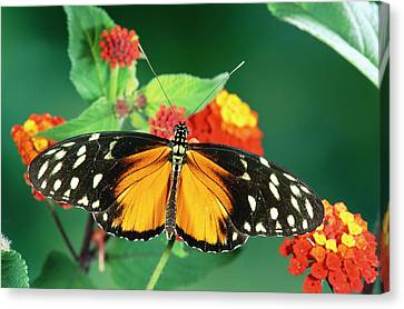 Tiger Longwing Heliconius Hecale Canvas Print by Michael & Patricia Fogden