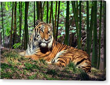 Tiger Rest And Bamboo Canvas Print by Sandi OReilly